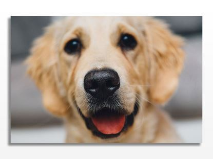 Golden Retriever Köpek Kanvas Tablo resmi