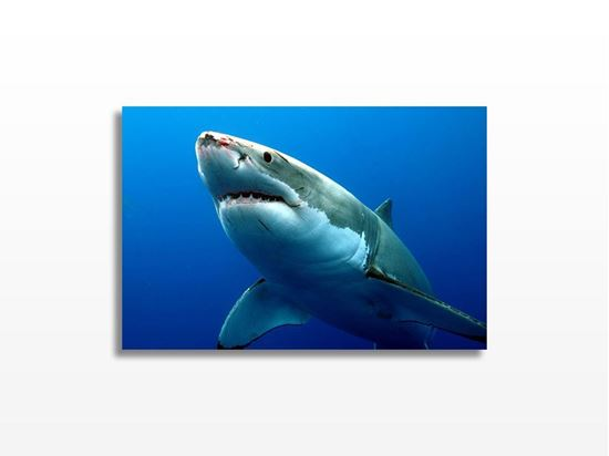 Picture of Carcharodon Carcharias Kanvas Tablo